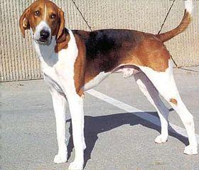 Foxhound Americain