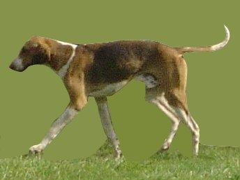 Foxhound Anglais